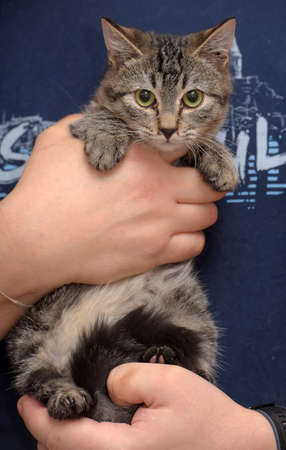 brown young european shorthair cat in the hands Фото со стока