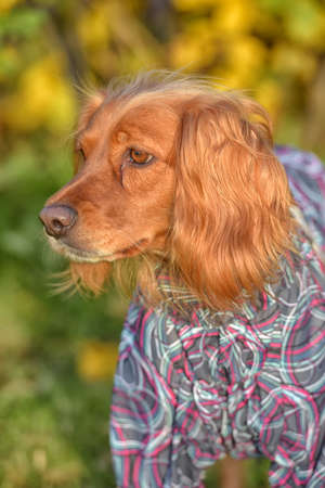 red spaniel in autumn in the park in overalls Stockfoto