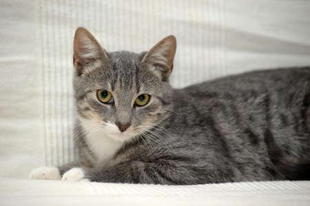 Gray adult mongrel cat lies, indoor