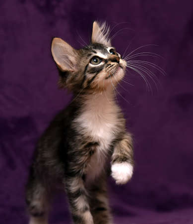 brown with white fluffy kitten on a purple background