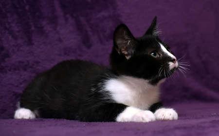 negro con gatito blanco sobre un fondo morado Foto de archivo