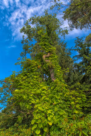 An ivy twines round a tree  in the park Sapokka Stock Photo - 129159131