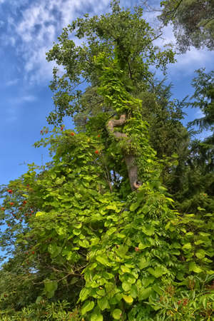 An ivy twines round a tree  in the park Sapokka Stock Photo - 129159130