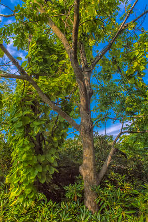 An ivy twines round a tree  in the park Sapokka Stock Photo - 129159132