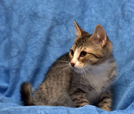 striped with white kitten on a blue background