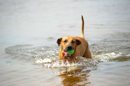 red dog mestizo with a ball in the water Imagens