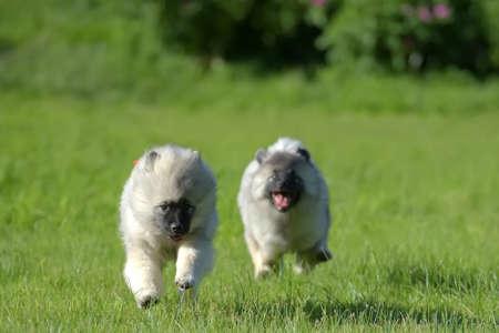 two keeshond wolfspitz puppy running on green grass 版權商用圖片