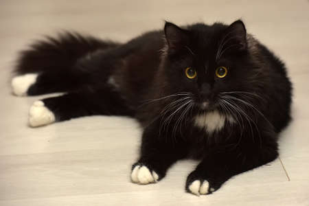 black and white beautiful sleek fluffy cat lying