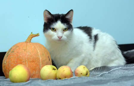 white with black cat on a blue background with pumpkin and apples Stock Photo