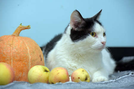white with black cat on a blue background with pumpkin and apples