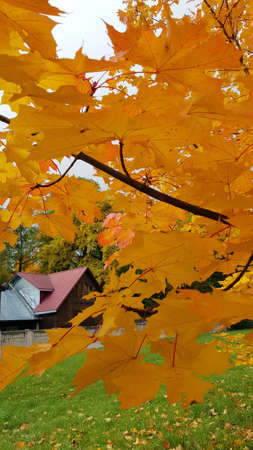 maple leaves in the foreground and a house in the distance