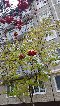 Bright red rowan under the first snow Stok Fotoğraf - 131364599