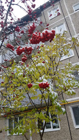 Bright red rowan under the first snow