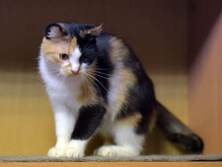 Three colored cat. Cat with yellow eyes, Cute cat