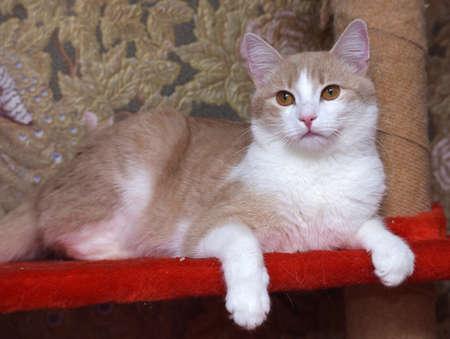 red-white beautiful cat with orange eyes