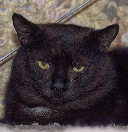 angry black serious cat with yellow eyes