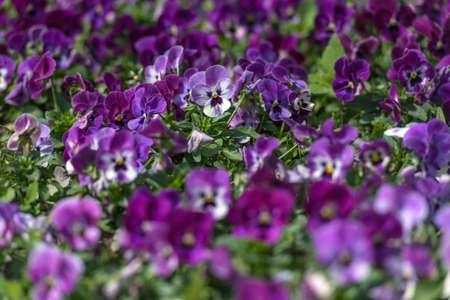 purple pansies flowers lawn background summer