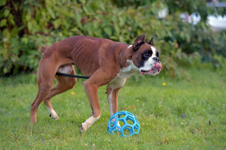 brown with white german boxer on a green background plays with a blue ball