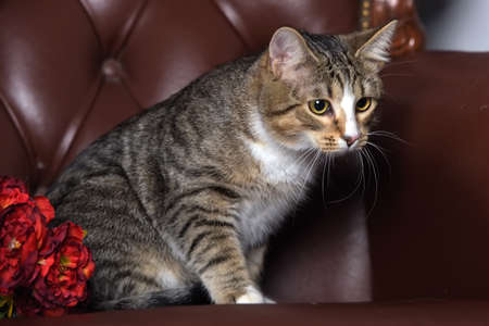 beautiful striped young cat and red flowers in the studio on a leather chair
