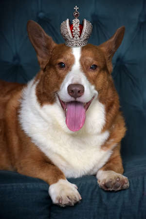 red with a white corgi and in a crown lies on a sofa