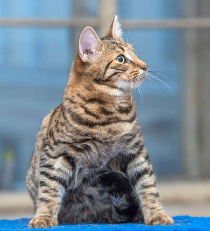 beautiful young striped brown cat