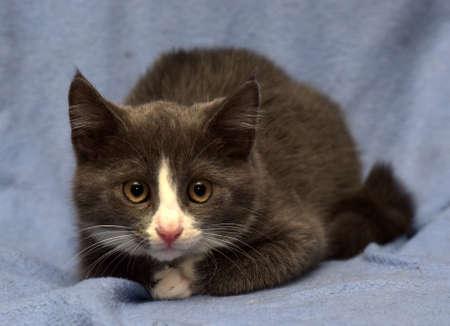 black and white kitten on a blue background Zdjęcie Seryjne