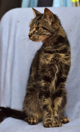 skinny striped cat on a blue background