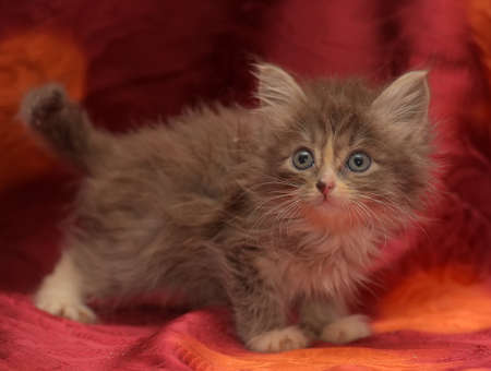 cute fluffy little gray kitten on a red background