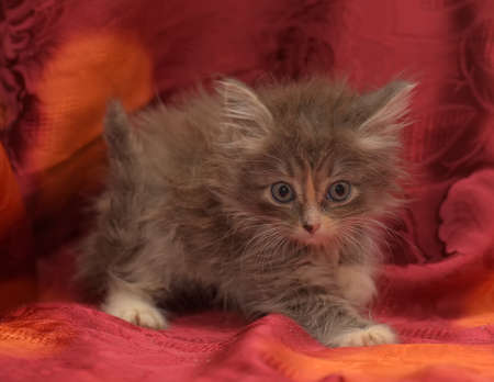 cute gray kitten on a red background
