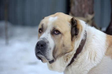 Central Asian Shepherd dog Alabai portrait close up Zdjęcie Seryjne