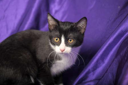beautiful black and white shorthair cat Foto de archivo