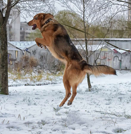brown dog in winter jumping on a leash Stock Photo