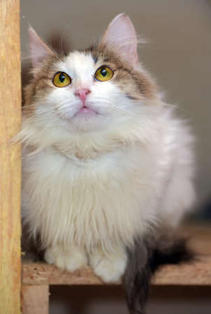 white and brown fluffy cat sits 版權商用圖片