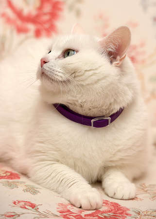 fat contented white cat in a collar