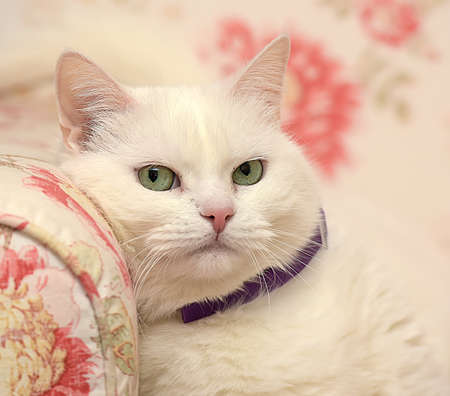 fat contented white cat in a collar 写真素材