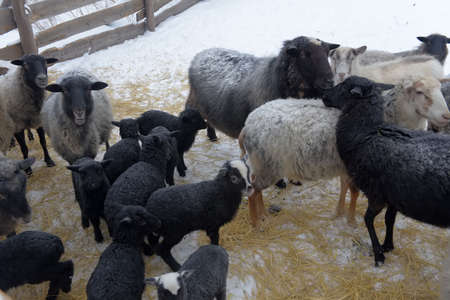 little sheep in the winter in the corral, snow