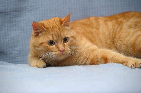 plump domestic red cat lies on a gray background