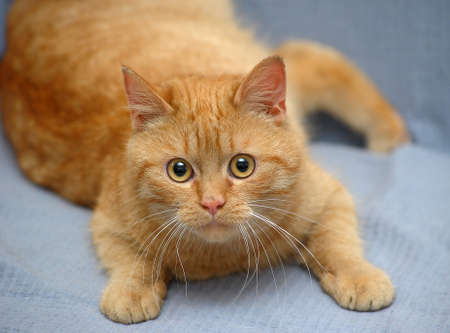 plump domestic red cat lies on a gray background Stock fotó