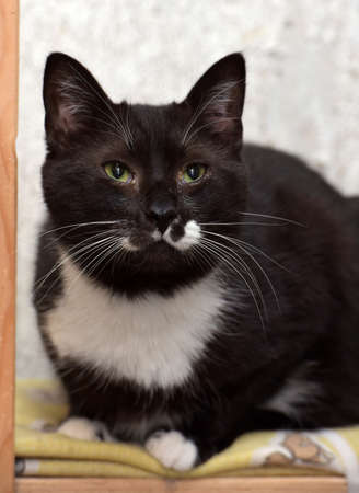 black and white cat with a white mustache 스톡 콘텐츠