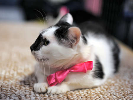 black and white cat with a bow on the neck