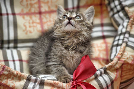 little fluffy kitten and pink bow