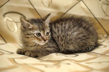 little fluffy kitten, brown with gray