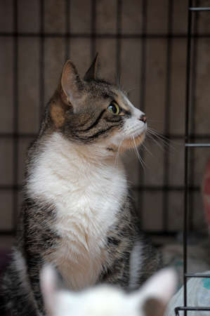 striped with a white cat in a cage in a shelter awaiting owners 스톡 콘텐츠