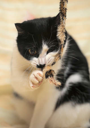 lovable playful black and white cat