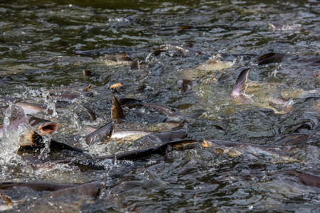 Pangasius fishes came to eat food that the people in the river