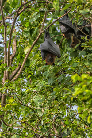flying foxes hanging on a tree on a branch