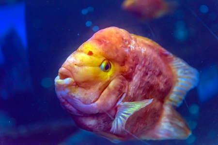 Red Parrot fish swimming in aquaria.