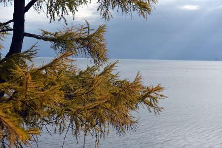 fir with autumn foliage on the background of Lake Baikal