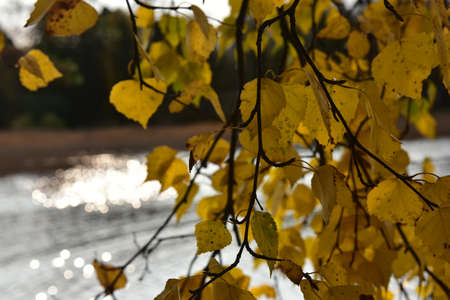yellow birch leaves against the background of water