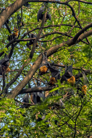 flying foxes hanging on a green  tree Archivio Fotografico